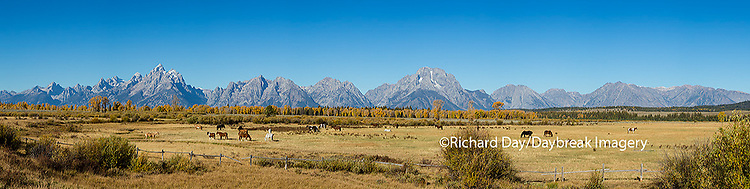 67545-09010 Horses and Grand Teton Mountain Range in fall,  Grand Teton National Park, WY