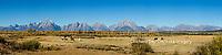 67545-09010 Horses and Grand Teton Mountain Range in fall,  Grand Teton National Park, WY