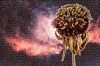 A daisy flower's seed head against a manipulated image of sunset clouds.