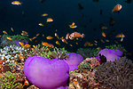colorful tropical reefs, healthy reefs, Manta Rays, reefscapes, Wide Angle, Clownfish and purple anemones, Radianthus magnifica