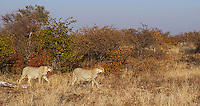 On our final morning at Mashatu Game Reserve, we had a great encounter with three male cheetahs.