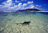 Reef shark swimming in shallow waters off white sand beach, Niihau, Hawaii