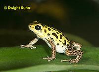 FR24-530z   Strawberry Poison Dart Frog, Dendrobates pumilio