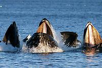 humpback whales, Megaptera novaeangliae, cooperatively bubble-net feeding, Chatham Strait, Alaska, USA, Pacific Ocean