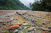 A beech tree skeleton lies in the Waiho riverbed near Franz Josef, Westland District, West Coast, South Island, New Zealand.