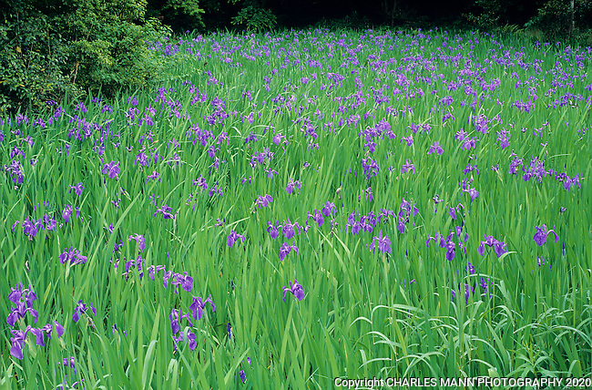A pond of blue blooming iris is the main attration in spring at Ota Shrine in Koyoto.