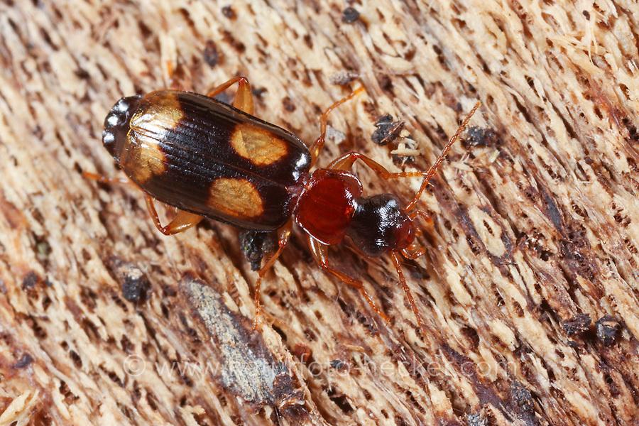 Vierfleck-Rindenläufer, Vierfleckiger Rindenläufer, Vierfleckiger Rennläufer, Vierfleckiger Rennkäfer, Dromius quadrimaculatus, ground beetle