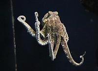 Tintenfisch/Oktopus im Aquarium von Palma de Mallorca - Palma de Mallorca 26.05.2019: Aquarium von Mallorca in Plama