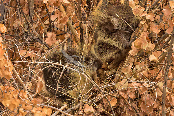 North American porcupines (Erethizon dorsatum)--also known as the Canadian porcupines or common porcupines--mating pair up in tree.  Western U.S., late fall.