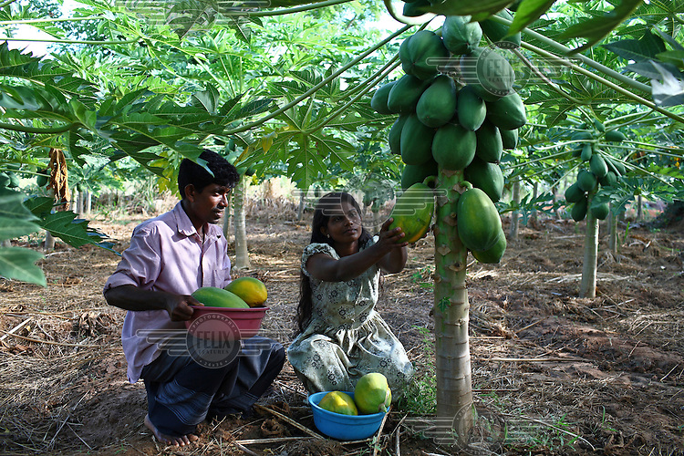 35 year old W.G. Ranjith and his wife G.M. Santhi work in their papaya field in Akkara 50. They received loan and business training from IFAD project.