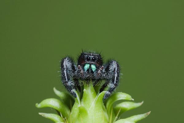 Daring Jumping Spider (Phidippus audax), Sinton, Corpus Christi, Coastal Bend, Texas, USA