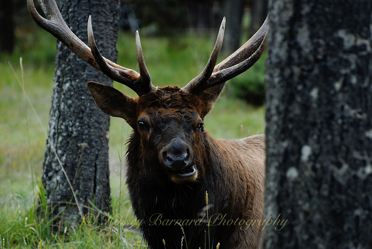 Bull elk at Jasper National Park Alberta Canada