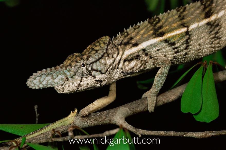 Male Rhinoceros chameleon {Furcifer rhinoceratus}. Ampijoroa NP, Madagascar