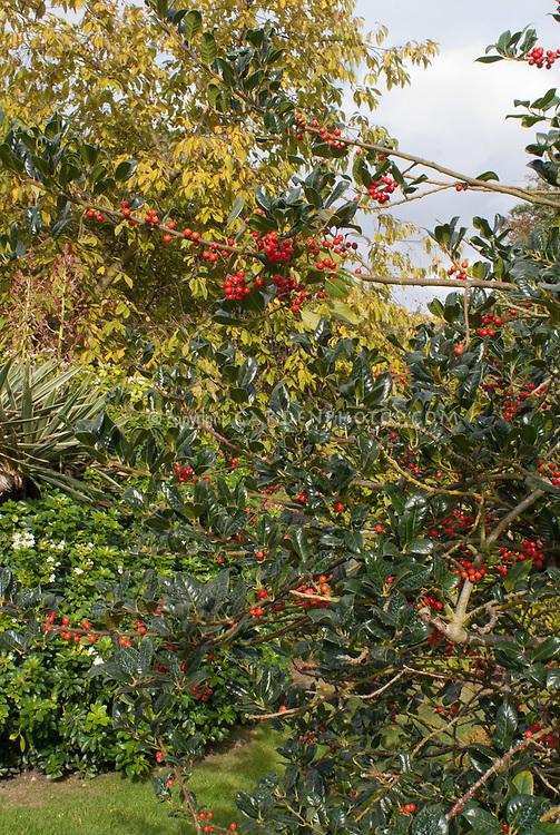 Ilex 'J.C. Van Tol' holly in berry berries, Holly