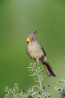 Pyrrhuloxia (Cardinalis sinuatus), female perched, Laredo, Webb County, South Texas, USA