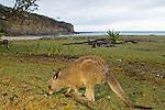 Eastern Grey Kangaroo (Macropus giganteus) joey grazing at the coast, Pebbly Beach, Murramarang National Park, New South Wales, Australia