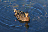 Female Mallard duck is a lot less colourful bird than the male Mallard. The female has an orange bill