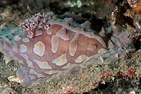 Lumpy Asteronotus Nudibranch, Asteronotus cespitosus, night dive, TK1 dive site, Lembeh Straits, Sulawesi, Indonesia, Pacific Ocean