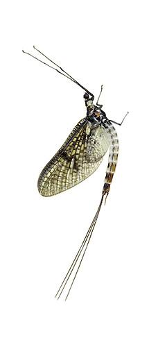 Green Drake Mayfly - Ephemera danica