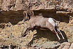 Bighorn sheep ram leaping on rocks during winter. Yellowstone National Park, Wyoming.