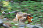 Golden snub-nosed monkey (Rhinopitecus roxellana ssp. qinlingensis), adult male attacking rival in full speed on the ground, motion blur.  Zhouzhi Nature Reserve, Qinling Mountains, Shaanxi, China.