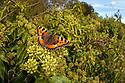 Small Tortoiseshell butterfly {Aglais urticae} feeding on Ivy {Hedera helix}. Peak District National Park, Derbyshire, UK. October.