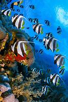 Pennant coralfish, Heniochus acuminatus