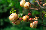AF5GN0 Oak apples Suffolk England