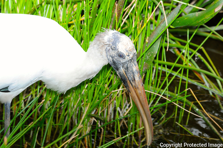 Wood Stork Photographed at Green Cay Wetlands, Boynton Beach, Florida.