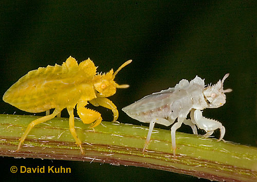 "0829-07mm  Ambush Bug - Phymata spp. ""Nymph in Virginia"" - © David Kuhn/Dwight Kuhn Photography"