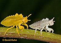 "0829-07mm  Ambush Bug - Phymata spp. ""Nymph in Virginia"" - © David Kuhn/Dwight Kuhn Photography"