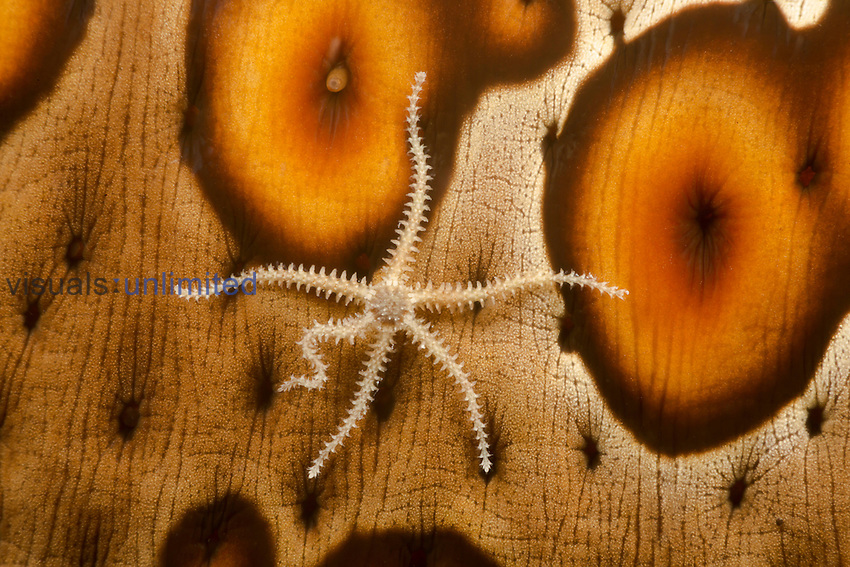 Brittle Star (Ophiothrix) on a Sea Cucumber (Bohadschia argus), Yap, Micronesia.