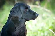Flat Coated Retrievers