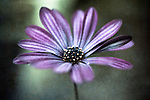 The beauty of the African Daisy in abstract.