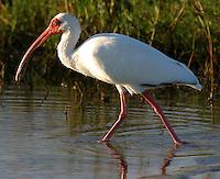 White ibis adult wading at edge of marsh