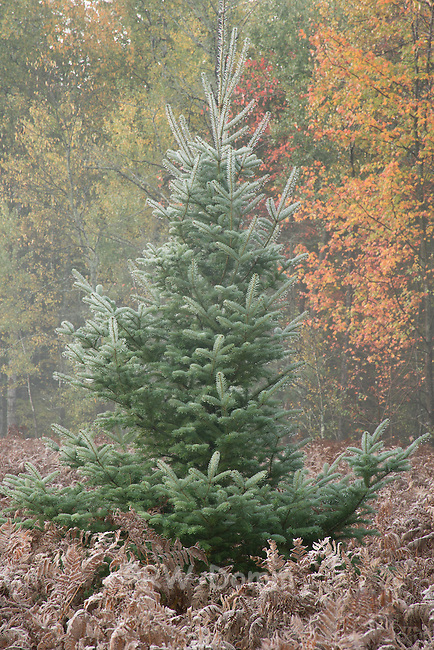 spruce tree with autumn color