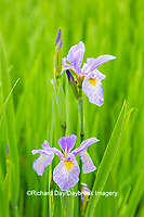 63899-05507 Blue Flag Iris (Iris versicolor) in wetland Marion Co. IL