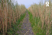 Paved path in a reed alley,  (Licence this image exclusively with Getty: http://www.gettyimages.com/detail/85071241 )