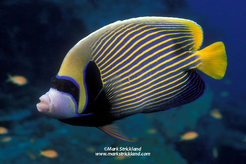 A Emperor Angelfish, Pomacanthus imperator, passes close to the photographer's lens.  Similan Islands Marine National Park, Andaman Sea, Thailand, Indian Ocean
