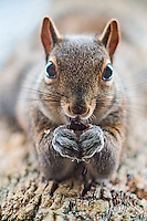 Squirrels from BCPix.com