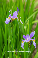 63899-05505 Blue Flag Iris (Iris versicolor) in wetland Marion Co. IL