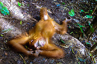 Indonesia, Sumatra. Bukit Lawang. Gunung Leuser National Park. The orangutan sanctuary of Bukit Lawang is located inside the park. At the feeding platform, taking a nap.