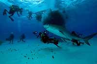 tiger shark, Galeocerdo cuvier, with divers and photographers, under dive boat, Little Bahama Bank, Bahamas, Caribbean, Atlantic