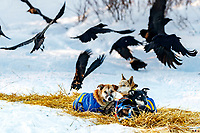 Ravens eating left over dog food scatter as some of Hugh Neff's dogs relax at the Kaltag checkpoint during the 2017 Iditarod on Sunday evening  March 12, 2017.<br /> <br /> Photo by Jeff Schultz/SchultzPhoto.com  (C) 2017  ALL RIGHTS RESERVED