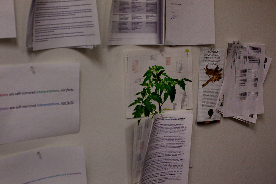 """Los Angeles, California, October 27, 2010 - Pages of information hang on the wall in the offices at the growing center for The Lazy Rabbit, which grows, processes and distributes medical cannabis to dispensaries in California as allowed by the California Compassionate Use Act, which allows people with a prescription to use and cultivate medicinal marijuana. Owner Aaron Thomas is very meticulous in how he runs his business from following the law - he has the phone number of the Sherriff in his wallet - to working to achieve the most consistent results with his plants. """"We need to be working together with doctors and scientists to find the most consistent product and get it to do what we need it to do."""" He has spent considerable time meeting with experts in the field to learn as much as he can about how to best grow his cannabis. Thomas uses older plants - which he calls his mothers - to pull a stalk from. He cuts back the base with a razor blade, then replants. Each new plant will be ready to produce buds in 7 to 9 weeks. The plant is then composted and the process begins again.There are different properties in Cannabis. One THC (Tetrahydrocannabinol) is the psychotropic one that gives the feeling of being 'high,' but another, CBD (Cannabidiol), is a medicial cannabinoid that has been shown to relieve convulsions, inflammation, anxiety, nausea and well as inhibit cancer cell growth. Currently Thomas' operation is not even breaking even because he allows people to pay what they can afford for it. """"My goal is to supply stable and consistent medical cannabis to facilitate the medical needs and to actually cure people."""" .."""