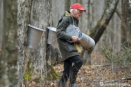 Old man installing sugar maple sap buckets on trees