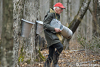 Old man installing sugar maple sap buckets on trees