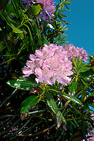 RHODODENDRON Rhododendron ponticum (Ericaceae) Height to 5m. A popular, evergreen ornamental shrub that is naturalised in some areas. Favours acid, damp soils. FLOWERS are 4-6cm long, bell-shaped and pinkish red; borne in clusters (May-Jun). FRUITS are dry capsules that contain numerous, flat seeds. LEAVES are shiny, leathery, elliptical and dark green. STATUS-This species' invasive habits, and ability to exclude native flora, means that its presence is often controlled.