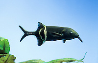Elefantenrüsselfisch, Elefantenrüssel-Fisch, Elefanten-Rüsselfisch, Gnathonemus petersii, Gnathonemus brevicaudatus, Mormyrus petersii, Peters' elephant-nose fish, elephantnose fish, long-nosed elephant fish, Ubangi mormyrid, Le poisson-éléphant, Nilhechte, Mormyridae