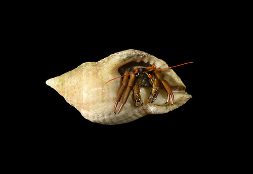 St Piran's Hermit Crab - Clibanarius erythropus